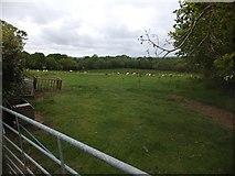 SX6397 : Sheep near Honeycott by David Smith