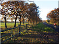 SP0576 : Row of oaks in a paddock along Redhill Road by Robin Stott