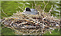 J3675 : Nesting coots, Victoria Park, Belfast - June 2014(1) by Albert Bridge