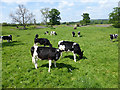 NY5128 : Cattle grazing inside Mayburgh Henge by Oliver Dixon