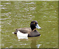 J3675 : Tufted duck, Victoria Park, Belfast - June 2014(1) by Albert Bridge