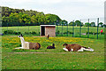 NY3551 : Goat and llama enclosure at Dobbies Garden World by Rose and Trev Clough