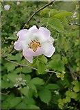 TQ1450 : Dog rose (Rosa canina) at Ranmore by Stefan Czapski