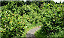 J3268 : Path and trees, Minnowburn, Belfast (June 2014) by Albert Bridge