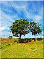 NZ8703 : Solitary Tree, Leas Head Road by Scott Robinson