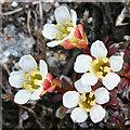 NM8983 : Diapensia (D lapponica) by Anne Burgess
