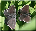 NJ3166 : Small Blue Butterfly (Cupido minimus) by Anne Burgess