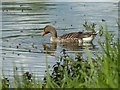 SP9012 : Wilstone Reservoir - Greylag Goose (Anser anser) by Rob Farrow