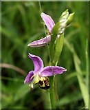 SX8771 : Bee Orchid, Aller Brook Local Nature Reserve by Derek Harper