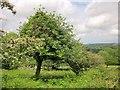 SX7480 : Trees on Hayne Down by Derek Harper