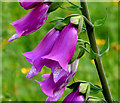 J3268 : Foxgloves, Minnowburn, Belfast (June 2014) by Albert Bridge