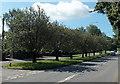 ST0280 : Tree-lined Cowbridge Road, Brynsadler by Jaggery