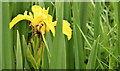 J4482 : Yellow (flag) iris, Helen's Bay - June 2014(2) by Albert Bridge