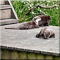 SD3335 : Otters at Blackpool Zoo by Gerald England