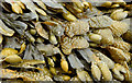J4180 : Seaweed, Cultra (June 2014) by Albert Bridge