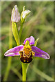 TQ2452 : Bee Orchid (Ophrys apifera) by Ian Capper