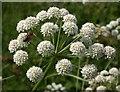 SX9066 : Bee on umbellifer, Nightingale Park by Derek Harper