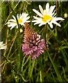 SX9066 : Pyramidal orchid, Nightingale Park by Derek Harper