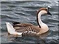 SO1210 : Swan Goose, Bryn Bach Park by Robin Drayton