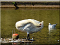 J3376 : Swan, Queen Mary's Gardens, Belfast (June 2014) by Albert Bridge