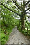 NY3204 : Track through Sawrey's Wood by DS Pugh