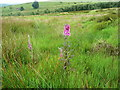 SE0909 : Foxgloves on the moor by Humphrey Bolton