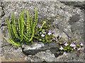 NR4168 : Wall flora at Keills by M J Richardson