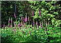 SO7678 : Foxgloves in the Wyre Forest, near Buttonoak by P L Chadwick