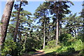 SJ3075 : The Pine Wood at Ness Gardens by Jeff Buck
