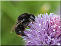 SO1252 : Bumble Bee on Chives, Cregrina, Powys by Christine Matthews
