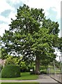 ST8043 : English Oak (Quercus robur) at Longleat House by Derek Voller