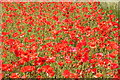 SJ3075 : Poppies at Ness by Jeff Buck