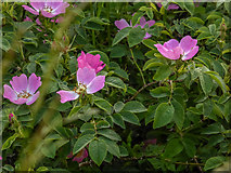 SO1252 : Wild Roses near River Edw, Cregrina, Powys by Christine Matthews