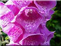SO1252 : Foxgloves, Cregrina, Powys by Christine Matthews