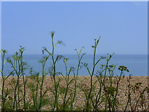TR3752 : Looking through fennel at Deal by pam fray