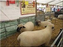 NT1473 : Hampshire Down sheep at the Royal Highland Show by Graham Robson