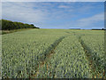 TF9940 : Wheat crop and field boundary by Pauline E