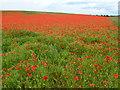 TF7720 : A field of poppies near Great Massingham, Norfolk by Richard Humphrey