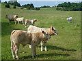TQ9948 : Calves at Dean Court by Marathon