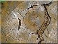 TL2804 : Detail of oak stump, Northaw Great Wood by Stefan Czapski