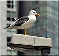 J3474 : Lesser black-backed gull, Donegall Quay, Belfast - June 2014(2) by Albert Bridge