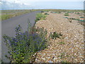 TQ9317 : Viper's bugloss near Rye Harbour Nature Reserve by Marathon