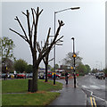 SP2865 : Butchered trees, Warwick Hospital, Lakin Road, on a wet May 1st by Robin Stott