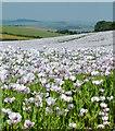 SU6485 : Half a Mile of Poppies, Ipsden, Oxfordshire by Edmund Shaw