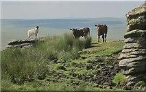 SX5686 : Ewe and calves, Green Tor by Derek Harper