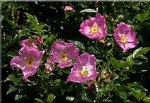 SX9066 : Roses, Browns Bridge Road by Derek Harper