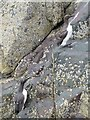 "NU2337 : ""Bridled"" and Common Guillemot (Uria aalge) by Russel Wills"
