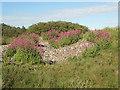 SS8477 : Red Valerian in duneland by Traeth yr Afon by eswales
