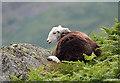 NY3211 : A herdwick sheep at Dunmail Raise by Walter Baxter