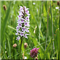 SE7169 : Common spotted orchid by Pauline E